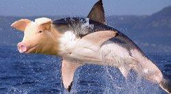Haischwein